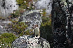 Cute little stoat staring from a rock. Near Arviat Stock Image