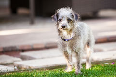 Cute Little Terrier Crossbreed Dog Outside Stock Photography