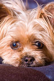 Cute Little Terrier Dog Royalty Free Stock Image