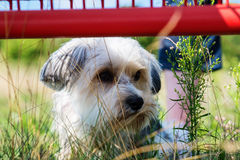 Cute, little terrier dog outside. A beautiful mixed terrier dog, one year old. He is a breed between Maltese and Yorkshire Terrier dog. The little dog is looking Stock Photo