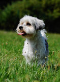 Cute, little terrier dog outside. A beautiful mixed dog, one year old. He is a breed between Maltese and Yorkshire Terrier dog. The little dog is standing Royalty Free Stock Images