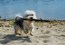 Cute, little terrier dog running on beach. A beautiful mixed terrier dog, one year old. He is a breed between Maltese and Yorkshire Terrier dog. The little dog Stock Image