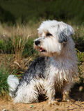 Cute, little terrier dog sitting outside. A beautiful mixed terrier dog, one year old. He is a breed between Maltese and Yorkshire Terrier dog. The little dog is Stock Photo