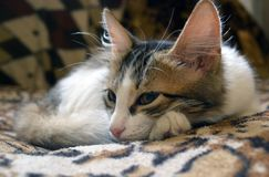 Cute little three-colored kitten on the couch stock photos