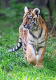 Cute little Tiger Stock Photography