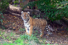 Cute little Tiger Stock Images