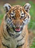Cute little Tiger Stock Photo