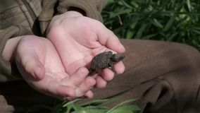 Little tortoise is clamberring up the human`s hands stock footage