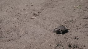 Little tortoise is walking on the ground. A cute little tortoise is walking on the ground stock footage