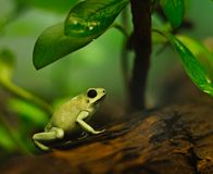 Cute little tree frog under a plant. A poison frog sitting on a tree branch under leaves. Ready to jump stock images