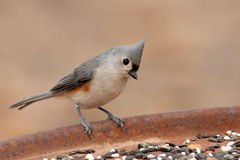 Cute little Tufted Titmouse Stock Photo