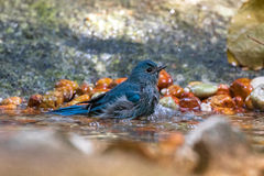 Cute little Verditer Flycatcher bird in blue playing soaking bod Royalty Free Stock Images
