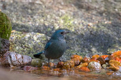 Cute little Verditer Flycatcher bird in blue standing on pebble Royalty Free Stock Photo