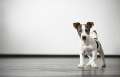A cute little watch dog Royalty Free Stock Image