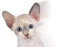 Cute Little White Cornish Rex Kitten in Motion Royalty Free Stock Image