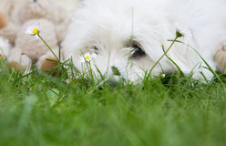 Cute little white dog lying in the green - witty concept with ba. Animal Portrait: Head of an original Coton de Tuléar lying in the green. Funny background for Royalty Free Stock Photos
