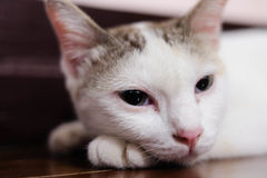 Cute little white kitten sleeps Royalty Free Stock Photography