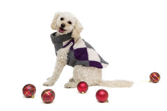 Cute little white poodle in dog clothes with Christmas balls. Cute little white poodle in dog clothes isolated on white with Christmas balls Stock Photo