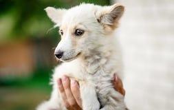 Little puppy holding on hands. Cute little white puppy holding on hands stock image