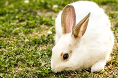 Cute little white rabbit Oryctolagus cuniculus sitting on the green grass royalty free stock images