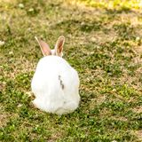 Cute little white rabbit Oryctolagus cuniculus sitting on the green grass royalty free stock image
