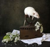 Cute little white siamesse dumbo rat sits on the handle of an antique iron with branches of blossoming bird cherry and white. Napkin. Still life composition in royalty free stock photography