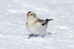 Cute little white snow bunting bird in the snow Royalty Free Stock Photos