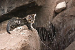 Cute little wild kitten on rock Royalty Free Stock Photography
