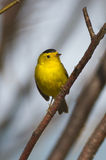 A cute little Wilson's warbler is light up by the sunlight. Royalty Free Stock Image