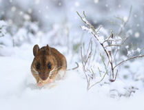 Cute little wood mouse on winter nature snow stock images