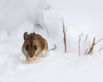 Cute little wood mouse on winter snow Stock Image