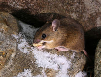 Cute little woodmouse found food Royalty Free Stock Photography