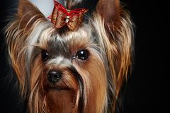 Cute little yorkie dog. Royalty Free Stock Images