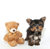 Yorkie Puppy and Friend Royalty Free Stock Photo