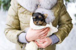 Cute little yorkshire puppy in woman`s hands Stock Photography
