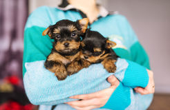 Cute little yorkshire puppy in woman`s hands stock photos