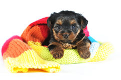 Cute little yorkshire terrier inside scarf Stock Photos