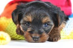 Cute little yorkshire terrier inside scarf closeup Stock Photos