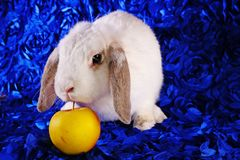 Cute little young bunny rabbit lop eared dwarf rabbits stock images