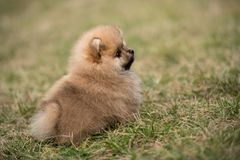 Cute Little young pomeranian cob playing on grass outdoor Stock Photo