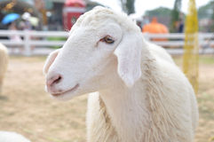 Cute little young sheep in farm Royalty Free Stock Images