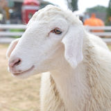 Cute little young sheep in farm, square size Royalty Free Stock Image