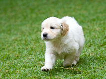 Cute lively GR Golden Retriever puppy running Royalty Free Stock Image