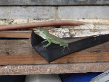 A cute lizard at belmont house, bequia. Royalty Free Stock Photography