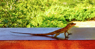 A cute lizard in the caribbean Stock Image