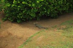 Cute lizard near green plant. Aruba Island. Amazing nature background Royalty Free Stock Images