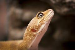 Cute lizard poses for the camera. Cute orange lizard poses for the camera royalty free stock photo