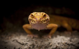 Cute lizard poses for the camera. Cute orange lizard poses for the camera stock photos