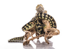 Cute lizard and snake best friends on a white background Stock Photos