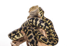 Cute lizard and snake best friends on a white background Royalty Free Stock Photos